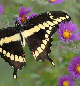Яркие Живые Бабочки из Индонезии Белый Морфо