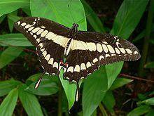 Яркие Живые Бабочки из Африки Хиполамус