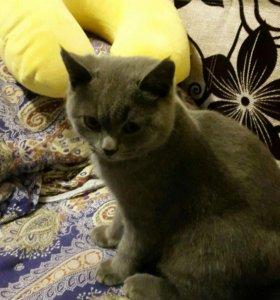 Котик(британец)