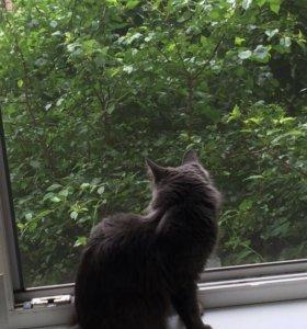 Мейн-Кун и Сибирская кошка