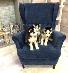 Собаки и щенки хаски для фотосессии