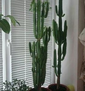 Комнатные растения кактус молочай