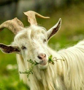 Услуги племенного козла