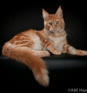 Кот Мейн кун шоу класса