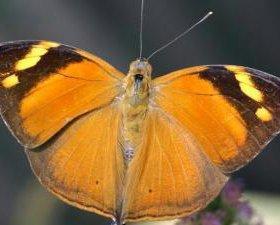 Яркие Живые Бабочки из Непал Амфибия