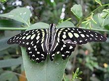 Восхитительные Живые Бабочки из Филиппин Pallas