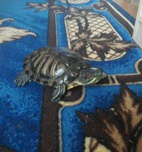 Аквариумная черепаха