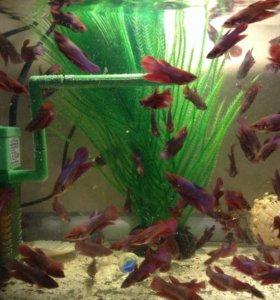 Рыбки петушки