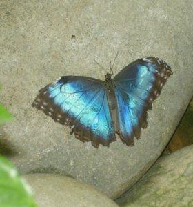 Восхитительные Живые Бабочки из Африки Магнолия