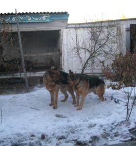 продаю щенков немецкой овчарки
