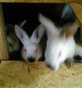 Крольчата на откорм 2 мес