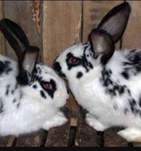 Кролики породы бабочки и бараны