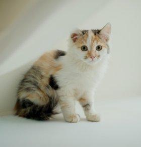 Пушистые трехцветные котята