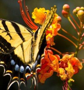 Экзотические Живые Бабочки из Африки Белый Ангел