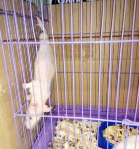 Крысы сфинкс