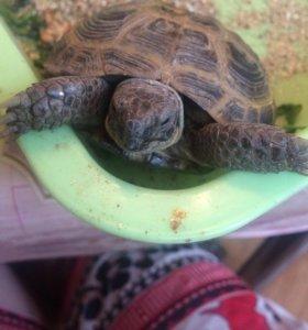 Сухопутная черепаха с домиком