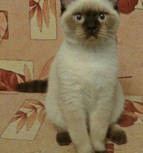 Породистый Котик 8 месяцев