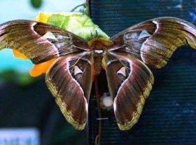 Восхитительные Живые Бабочки из Амазонки Изаура