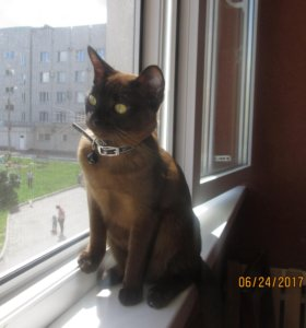 котята Европейской Бурмы