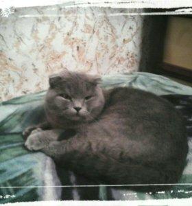 Кот на вязку. Чистокровный,умный,красивый