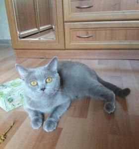 Кошка Шотландская, 2 года,стерилизованная