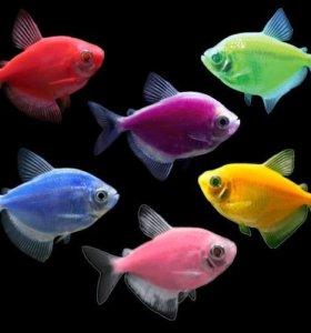 Тернеция разноцветная