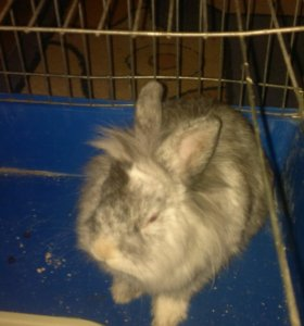 Карликовый кролик породы 'Львиноголовый'