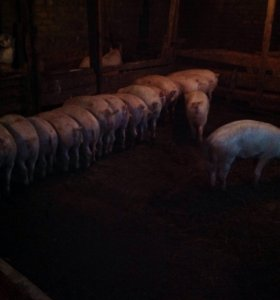 Свинки кабанчики