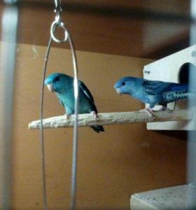 Толстоклювый попугай Катарины