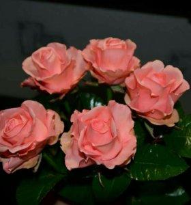 Розы DUETT