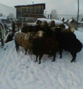 Продам овец с ягнятами, барана.