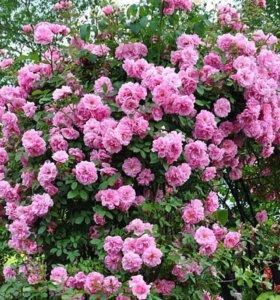 Морозостойкие розы канадской селекции