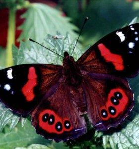 Тропические Живые Бабочки из Чили Белый Ангел