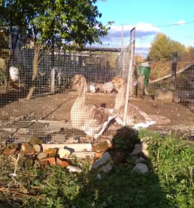 Холмогорские гуси.
