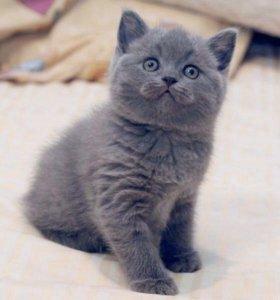 Британские или шотландские котята(читайте описание