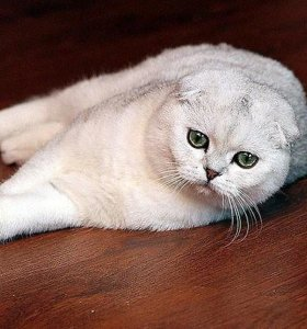 Серебристый мачо на вязку