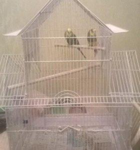 Волнистые попугаи девочка и мальчик