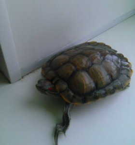 Продаю черепах