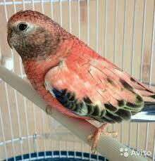 Травяные попугаи