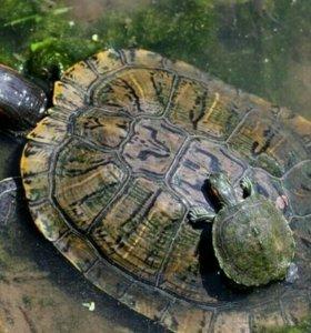 Большая красноухая черепаха