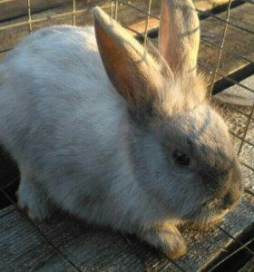 Кролики подрощенные