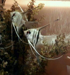 Скалярия зебра вуалевая, фольга