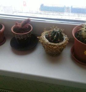 4 кактуса с горшочками