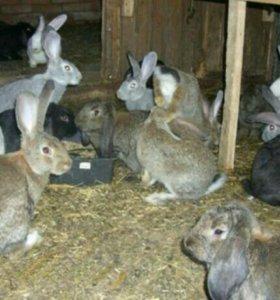Продам кроликов (живых) 3.5 месяцев.