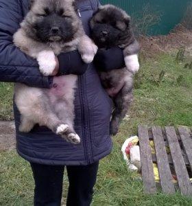 элитные щенки кавказской овчарки