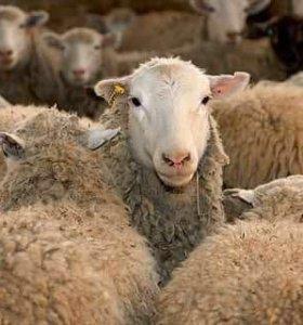 Овцы на мясо романовские