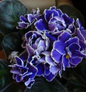 Фиалки цветущие
