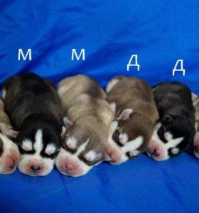 Хаски щенки с родословными (Торг!)
