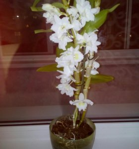 Дендробиум( орхидея)