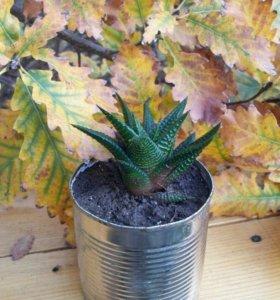 Кактус Haworthia limifoliaMarloth